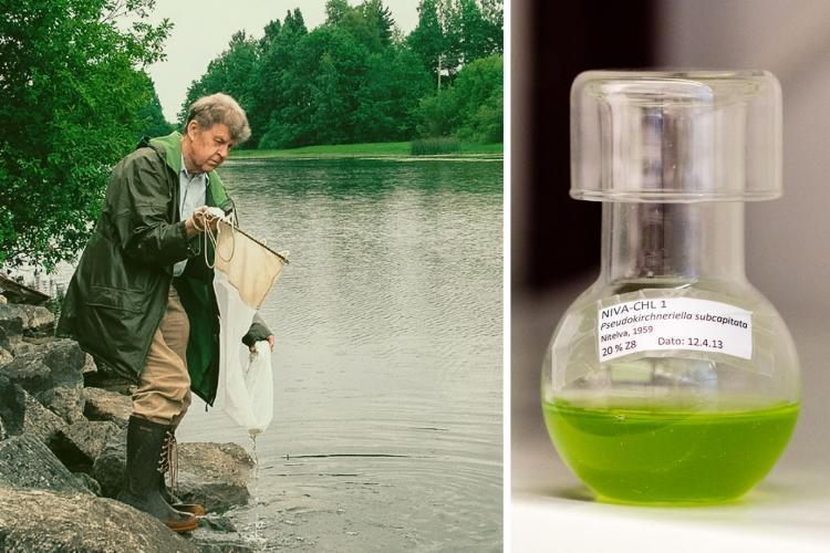 First green algae: Olav M. Skulberg isolated the first green algae strain in the collection in 1959. Today, NIVA-CHL1 is one of the most widely used test algae in the world.